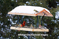 00585-037.09 Northern Cardinal, American Goldfinches, & House Finch on platform tray feeder, Marion Co. IL