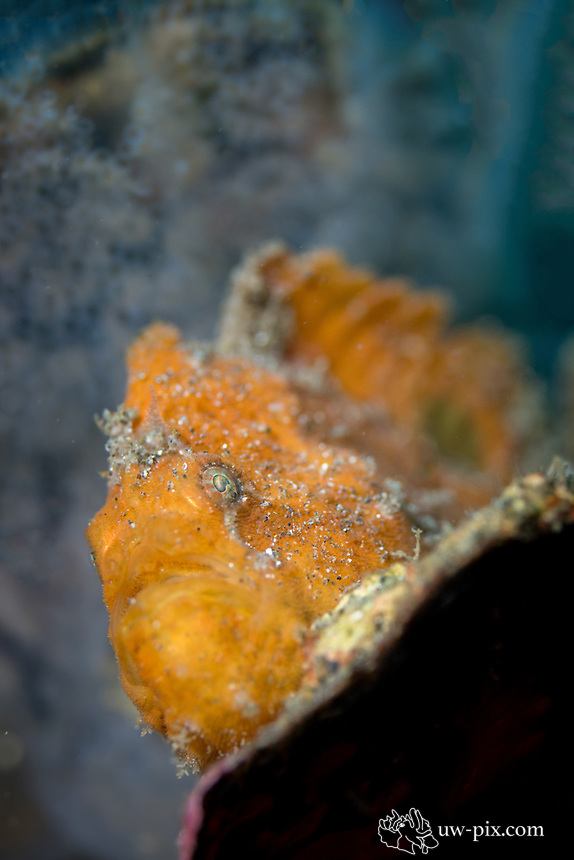 Frogfish in the Lembeh Strait / Indonesia