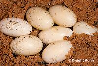 CH42-504z  Veiled Chameleon eggs in sand, Chamaeleo calyptratus