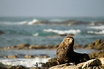 New Zealand Fur Seal (Arctocephalus forsteri) bull on coastal rocks, Kaikoura, South Island, New Zealand