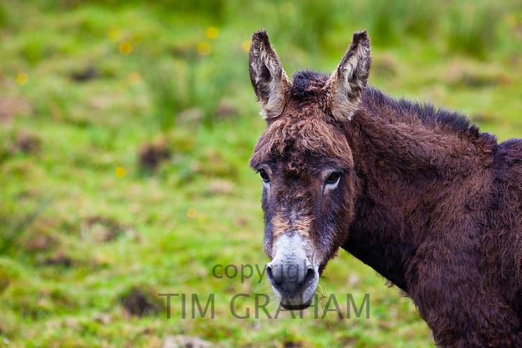 Traditional Irish donkey  in County Clare, West of Ireland
