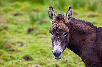 Traditional Irish donkey  in County Clare, West of Ireland