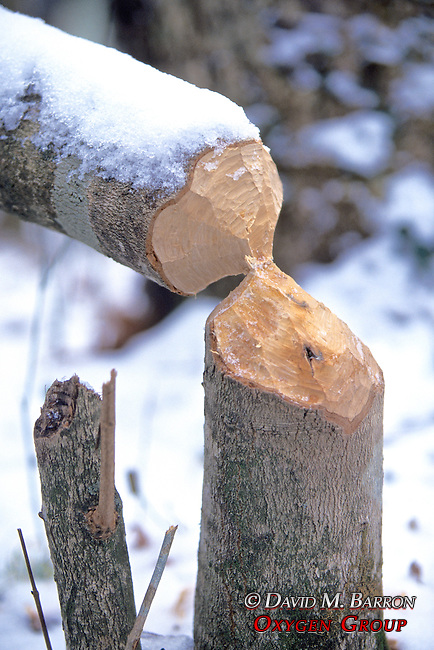 Tree Chewed By Beaver