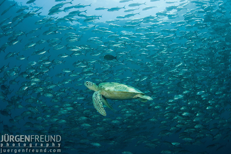 Green turtle (Chelonia mydas)  with schooling jacks (Cranax sexfasciatus).