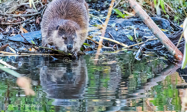 2017-11-05_Urban Wildlife_Beaver