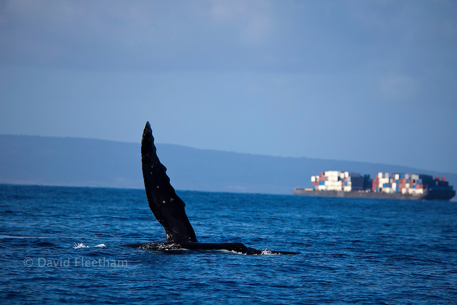 A humpback whale, Megaptera novaeangliae, waves a pectoral fin at a passing container barge off the island of Maui, Hawaii.