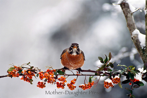 Robin, Turdus migratorius, perches on branch of pyracantha berries in winter snow, Midwest USA