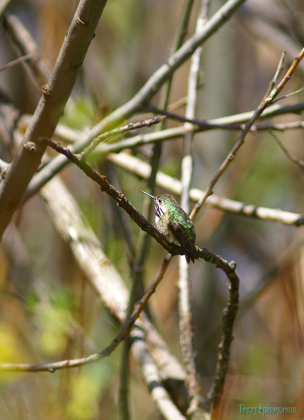 SONY DSC Calliope Hummingbird