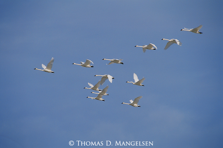 Trumpeter swans fly over the sandhills of Nebraska.