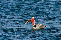 Brown Pelican (Pelecanus occidentalis) swallowing fish it has caught.  California Coast.  Early Spring.  Adult California Brown Pelicans show a bright red throat pouch during mating season.