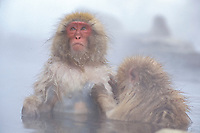 primate, Japanese macaque or snow monkey, Macaca fuscata, Northern Japan