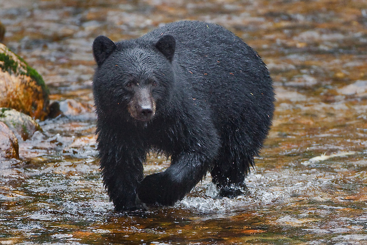 Black Bear fisihing for salmon