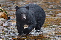 Black Bear fisihing for salmon
