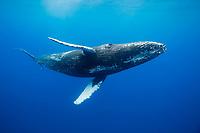 Humpback whale, Megaptera novaeangliae, underwater, Hawaii.