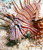 Pterois or lionfish is a genus of venomous marine fish found mostly in the Indo-Pacific, known collectively as the lionfish