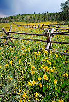 Cone flowers, Western National Forest, Utah