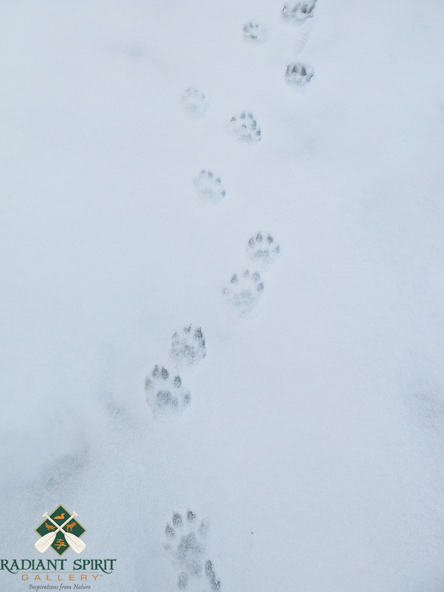&quot;Otter Tracks in the Snow&quot;<br />
