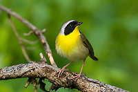 Adult male Common Yellowthroat (Geothlypis trichas) in breeding plumage. Tompkins County, New York. May.
