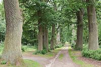 Eichenallee, Allee aus uralten Eichen, Eiche, Quercus, Avenue