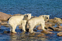polar bear, Ursus maritimus, mother with cub, foraging over rocky shore, Wager Bay, Hudson Bay, Nunavut, Canada, Arctic Ocean