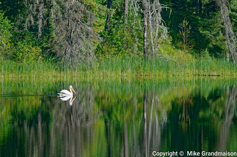 American white pelican (Pelecanus erythrorhynchos) on northern lake<br />