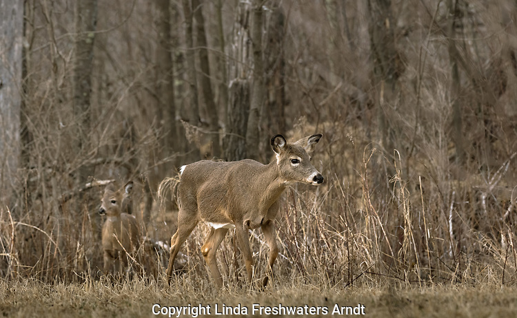 White-tailed doe with her fawn in the background.