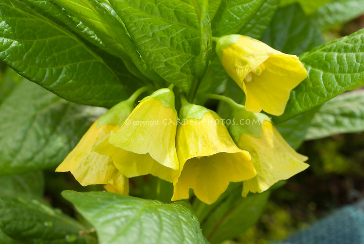 Yellow flowers of scopolamine medicinal plant Scopolia carniolica var. brevifolia