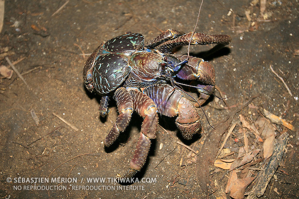 Le crabe de cocotier (Birgus latro) est le plus grand arthropode terrestre