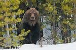 Grizzly bear on snow. Yellowstone National Park, Wyoming.