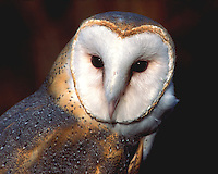 Barn Owl (Tyto alba) male, portrait