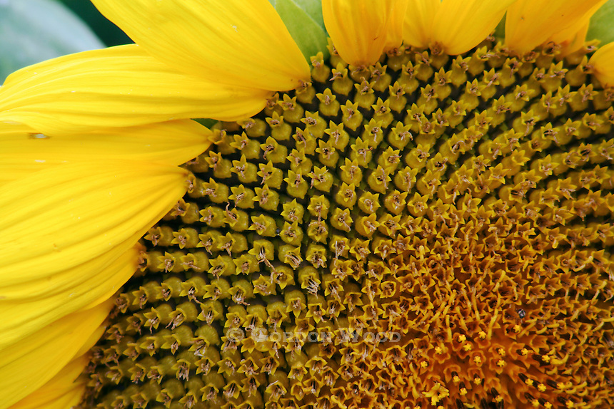 Closeup of Disc Area of Sunflower Head