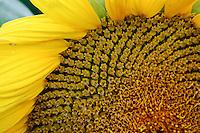 Closeup of Disc Area of Sunflower Head