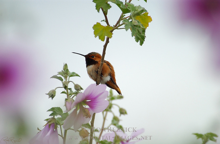 Allen's Hummingbird Male on Mallow, Descanso Gardens, Southern California