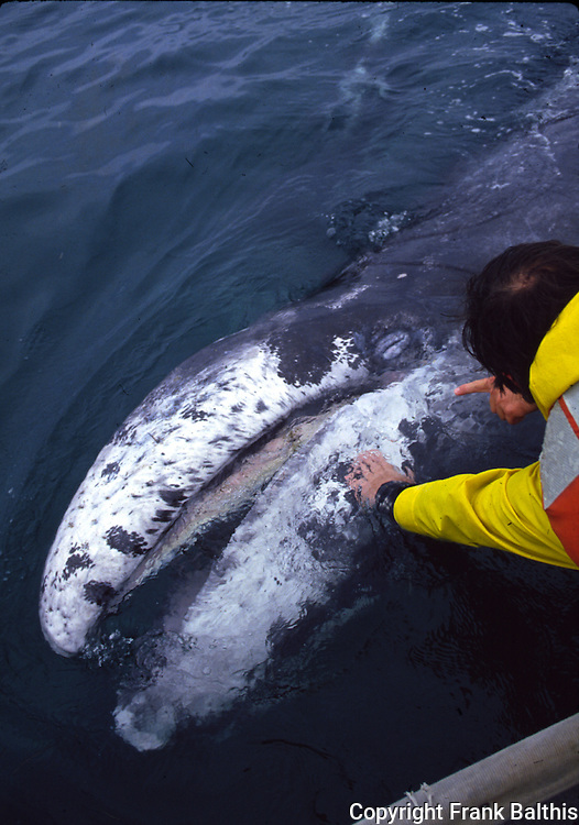 touching a gray whale calf