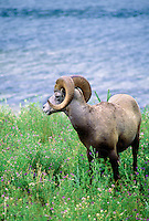 Bighorn sheep on shore of small pond. Jasper National Park, Canada