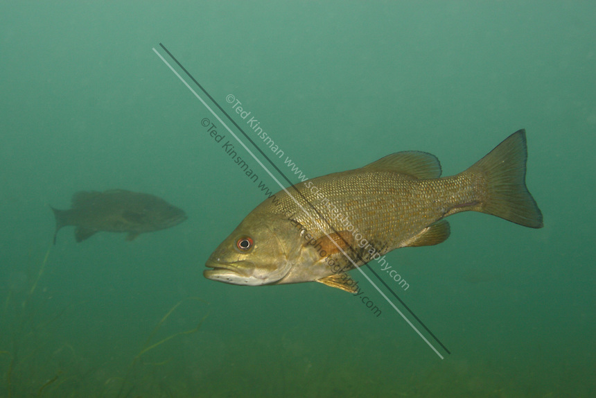 A smallmouth bass (Micropterus dolomieu) photograped in New York State.  This fish has been widely introduced to freshwater lakes and streams for sport fishing.