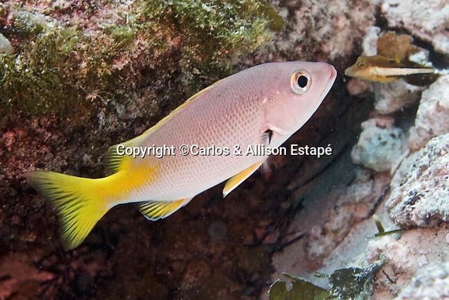 Lutjanus buccanella, Blackfin snapper, juvenile, Cozumel, Mexico