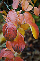 Autumn foliage of Cornus kousa 'Miss Satomi', early November.