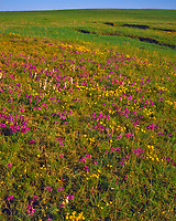 Plains Wildflowers on a Spring Morning, Cedar Bluff State Park, Kansas