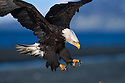 Bald Eagle Preparing to Land, Kenai Peninsula, Alaska