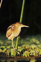 Least Bittern (Ixobrychus exilis), adult in reeds, Fennessey Ranch, Refugio, Coastal Bend, Texas Coast, USA