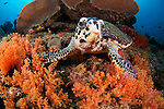 Hawksbill turtle, Eretmochelys imbricata, and soft coral, Raja Ampat, West Papua, Indonesia, Pacific Ocean turtle, Eretmochelys imbricata, and soft coral, Raja Ampat, West Papua, Indonesia, Pacific Ocean turtle, Eretmochelys imbricata, and soft coral, Raja Ampat, West Papua, Indonesia, Pacific Ocean