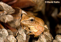 0302-0927  Spring Peeper Frog on Fallen Pine Cones, Pseudacris crucifer (formerly: Hyla crucifer)  © David Kuhn/Dwight Kuhn Photography
