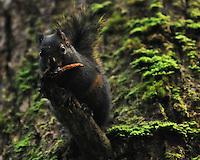 Douglas Squirrel in Olympic National Park, Washington.