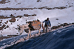 Mules are surefooted on rocks but really slip on ice.Climbinf og the mountain Toubkal (4165 m) with mountaineering ski, highest summit of North Africa. Atlas range. Morocco. Africa