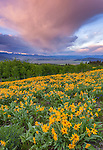 Bridger-Teton National Forest, WY: A field of balsamroot (Balsamorhiza sagittatta) with clearing storm clouds at sunrise overthe Gros Ventre River Valley