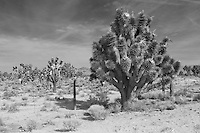Black and white photo of yucca tree in Mohave desert