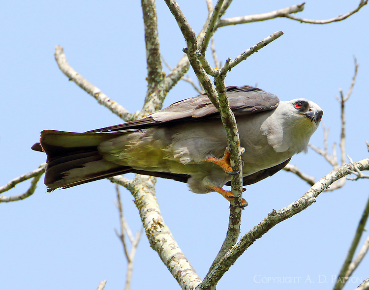Adult Mississippi kite, one of a large flock at Brison Park in College Station, TX during late June-early July 2015.
