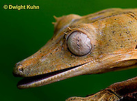 GK13-507z  Lined Leaf-tailed Gecko close-up of face and eye, Uroplatus lineatus