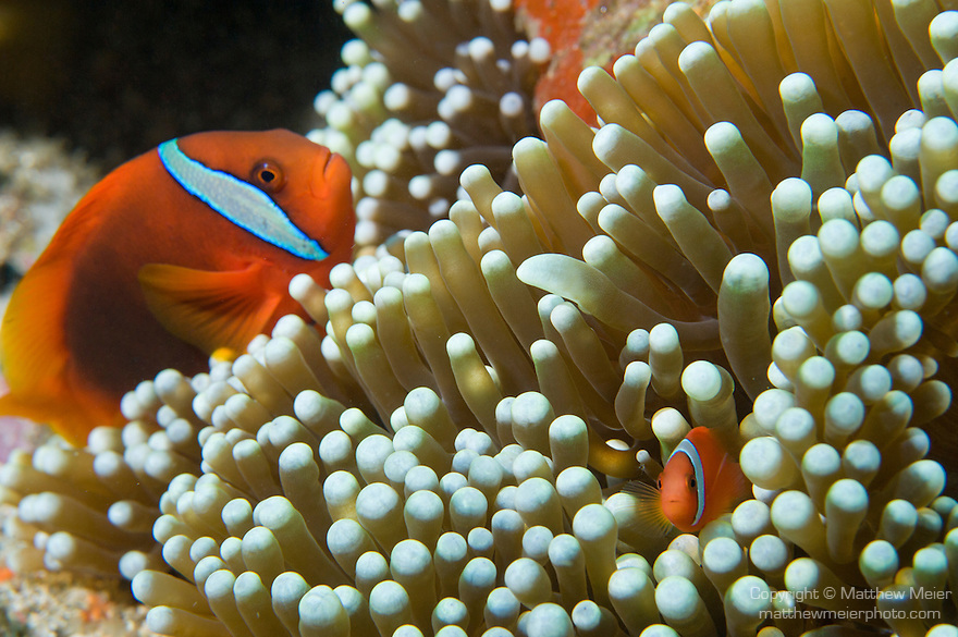 Anilao, Philippines; a male/female pair of Tomato Anemonefish (Amphiprion frenatus) in their Bubble-tip Anemone (Entacmaea quadricolor)